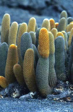 Ecuador terra incognita cactus guardianes del agua for Clases de cactus